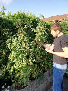 Das Bild zeigt Armin Wurm, wie er die Tomaten in seinem Garten erntet..