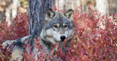 Gray wolf in autumn blueberry bushes