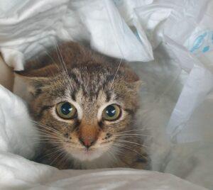 Kleine Katze, weiblich, 10 Wochen alt
