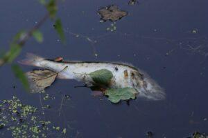 Toter Fisch im umgekippten Gewässer