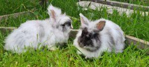 Kaninchen Flauschi und Bauschi